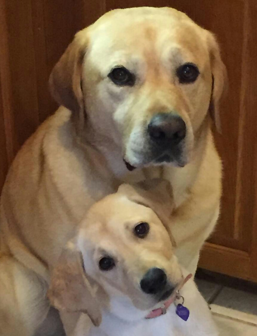AKC Yellow Lab Family Portrait